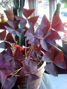 red-shamrock