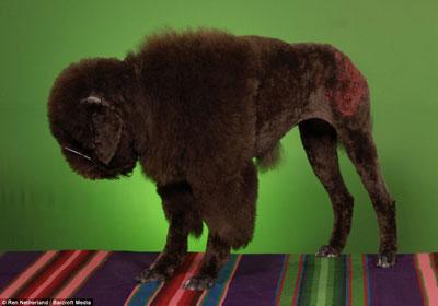 poodle-bison