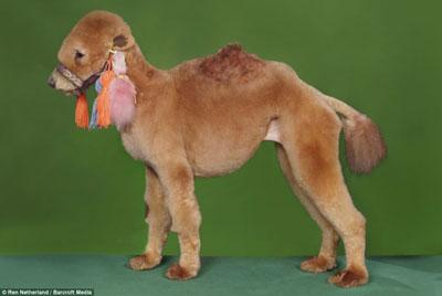 poodle-camel